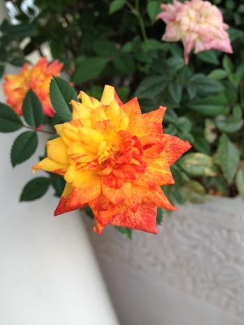 14hallo-rose